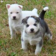 Amazing Siberian Husky Puppies Ready To Go For a New Home