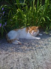 LOST LOST LOST GINGER AND WHITE MALE CAT