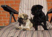 Apricot Pug Boy & Girl,  11weeks Old, kc Reg, Pug Puppies For Sale